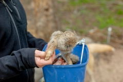 Fresh rabbit being fed to dingoes in Mount Rothwell, Victoria, Australia.