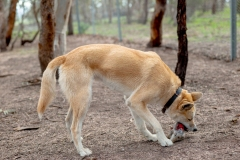 Dingoes trained for pest eradication at Mount Rothwell, Victoria, Australia