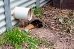 Eastern Quoll in captivity for reproduction and studies at Mount Rothwell conservation and research centre in Mount Rothwell, Victoria, Canberra.