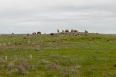 Merino sheep on Tiverton Farm in Victoria, Australia
