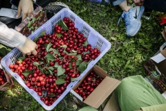 Freshly plucked organic cherries from the Tianfu Garden Farm (God's Grace Garden) plucked by volunteers.