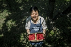 Chang Tianle, who runs the Beijing Farmers' Market. She volunteers her time at the Tianfu Garden Farm (God's Grace Garden) to help pick ripe organic cherries.