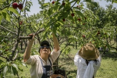 Chang Tianle, who runs the Beijing Farmers' Market. She volunteers her time at the Tianfu Garden Farm (God's Grace Garden) to help pick ripe organic cherries.