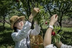 Zhang Yingyi from the Beijing Farmers Market at the Tianfu Garden Farm (God's Grace Garden) to help pick ripe organic cherries.