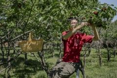 Wang Rui, staff from Beijing Farmers' Market helping out at the Tianfu Garden Farm (God's Grace Garden) to help pick ripe organic cherries.