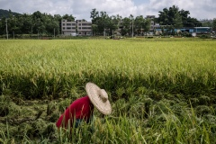 Farme r harvesting crops by hand in a reas that are too difficult to access at an organic rice and duck farm.