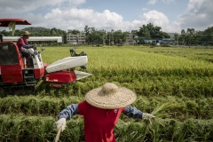 Farmer harvesting crops by hand in a reas that are too difficult to access at an organic rice and duck farm.