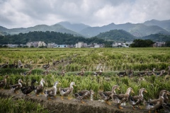 Ducks allowed to roam freely in harvested fields that have been flooded with water to keep the ducks happy on an organic rice and duck farm.