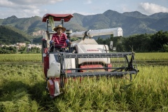Organic rice and duck farm. Combine harvester harvests rice.
