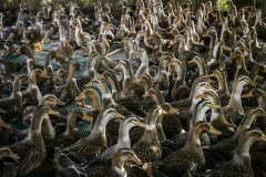 Ducks kept in a pen overnight to rest before they are let out early in the morning into the rice fields in an organic rice and duck farm.