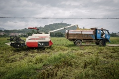 Organic rice and duck farm. Harvested rice from combine harvesters emptied onto a pick up truck. The trucks will deliver rice to processing plant for drying and bagging.
