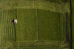 Organic rice and duck farm.