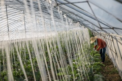 Farmer tending to plants in a greenhouse in Shared Harvest farm. Shared Harvest is an organic farm promoting the CSA / Community Shared Agriculture model. Since the program started in May 2012, Shared Harvest has developed and now posseses 66 acres based in Tongzhou and Shunyi Districts in Beijing, planting organic vegetables, fruit and grains and also breeding livestock.