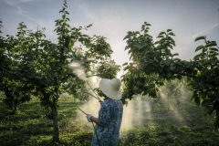 Farmer watering pear trees at Shared Harvest. Shared Harvest is an organic farm promoting the CSA / Community Shared Agriculture model. Since the program started in May 2012, Shared Harvest has developed and now posseses 66 acres based in Tongzhou and Shunyi Districts in Beijing, planting organic vegetables, fruit and grains and also breeding livestock.