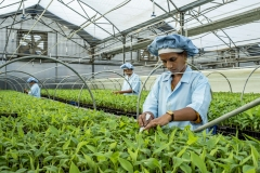 Women work on tissu cultured Banana sapling at the Jain Irrigation facility in Jalgoan.