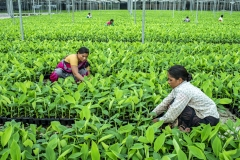 Women organise tissu cultured Banana sapling at the Jain Irrigation facility in Jalgoan.