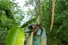 Farmer Usha Rani from Agripally village in Krishna district removes drumsticks and shows the seed from it where she successfully practice of Natural Zero budget farming.