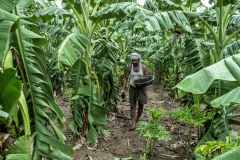 A farmer uses Ghanajeeamruth in his Banana plantation in Agrapally village.