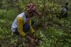 Women community members plant newly matured seedlings at the Cinta Raja Rainforest Restoration Site in Gunung Leuser National Park (GNLP) in Sumatra, Indonesia.