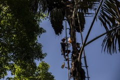 A farmer climbs up a palm sugar tree to collect the sap at a forest in Sintang regency, West Kalimantan, Indonesia.