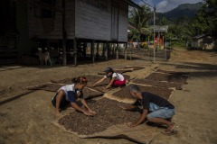 Farmers dry ilipe nuts in the sun at a village in Sintang regency, West Kalimantan, Indonesia.