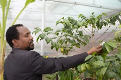 "Dr Birhanu, age 39, Research Directorate Director at Gullele Botantical Gardens, Addis Ababa, Ethiopia, with coffee arabica in Chanber 1 of the greenhouses.""My degree is biology, I studied in Bahir Dar - I used to go to swim in blue mile river, collecting wood, have a close relationship with nature - and my interest just grew as I studied - most people in Ethiopia are very passionate about plants - the old people love plants - plants are everything for us - food, medicine, household implements, farming implements, building, they are everything it is an agricultural country, not an industrialised country , they cut plants because they don't have options.  HEre we protect them, and plan to sell them to the communtity from our nurseries in the future."""