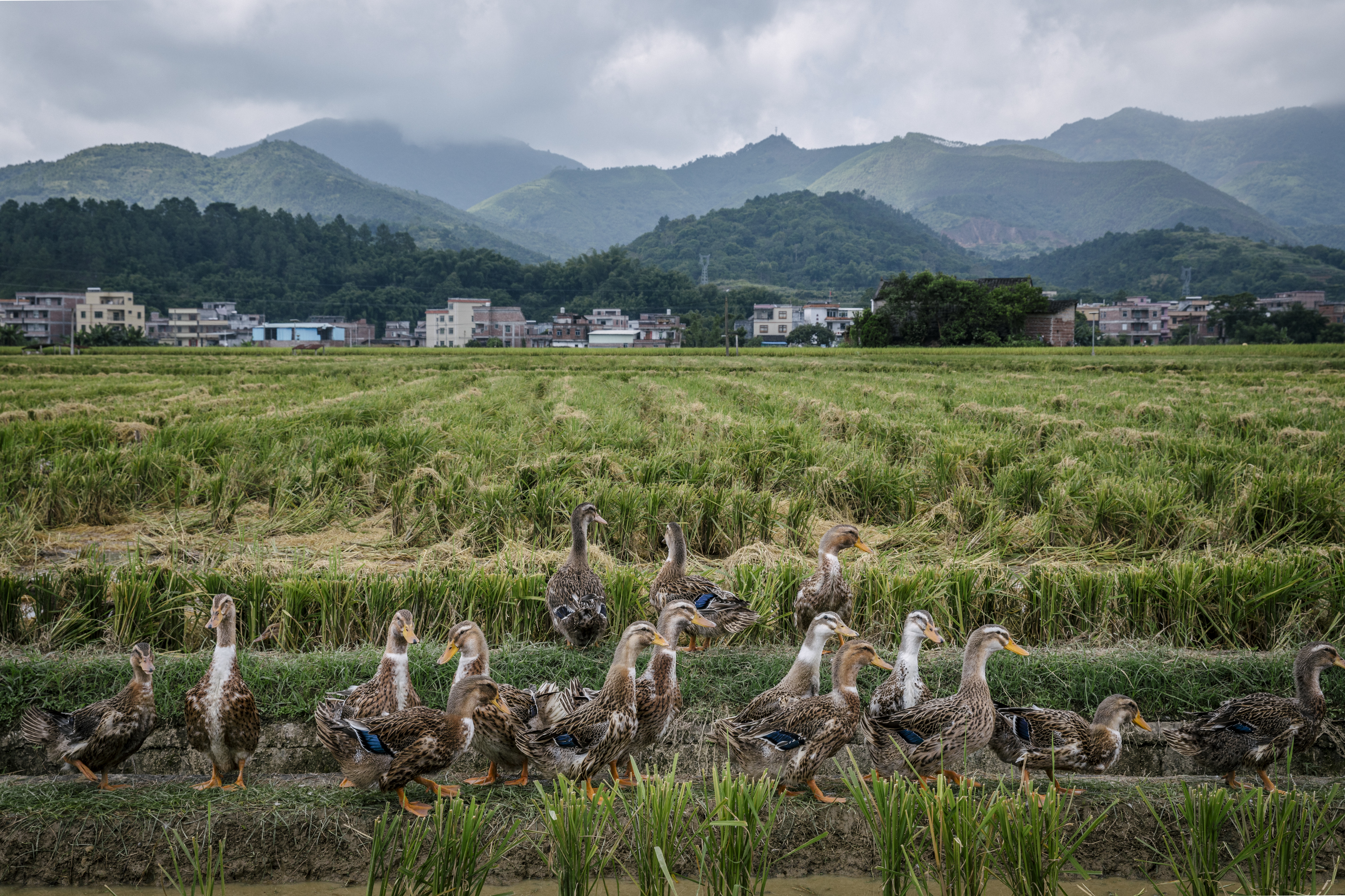 Revival at the farm: Ducks to the rescue in Chinese rice paddy fields