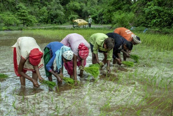 Men & Women works in the field of Kahansingh Bhai in Sankdi village in Narmada district in Gujra